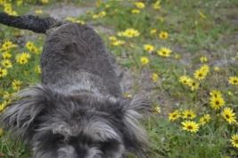 banksia-park-puppies-lulu-1-of-9