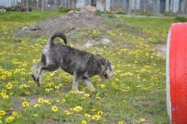 banksia-park-puppies-lulu-6-of-9