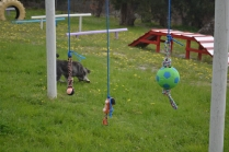 banksia-park-puppies-lulu-9-of-9
