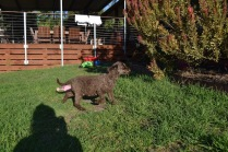 Banksia Park Puppies May