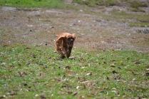 Banksia Park Puppies Odelle