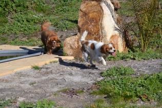 Banksia Park Puppies Ravi - 10 of 39