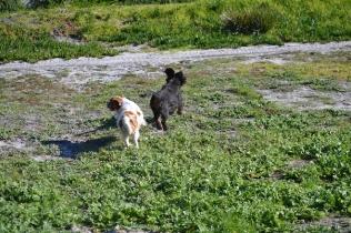Banksia Park Puppies Ravi - 11 of 39