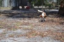 Banksia Park Puppies Ravi - 13