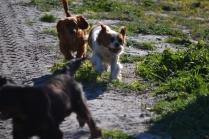 Banksia Park Puppies Ravi - 14 of 39