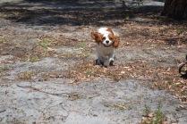 Banksia Park Puppies Ravi - 3