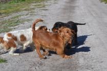 Banksia Park Puppies Ravi - 16 of 39