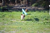 Banksia Park Puppies Ravi - 19 of 39
