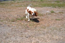 Banksia Park Puppies Ravi - 19
