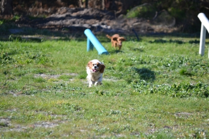 Banksia Park Puppies Ravi - 20 of 39