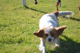 Banksia Park Puppies Ravi - 27 of 39