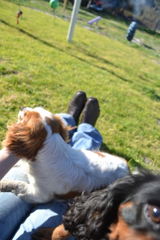 Banksia Park Puppies Ravi - 28 of 39