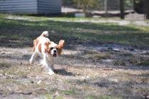 Banksia Park Puppies Ravi - 28