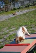 Banksia Park Puppies Ravi - 37 of 39