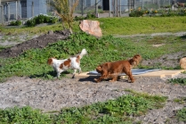 Banksia Park Puppies Ravi - 6 of 39