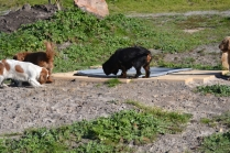 Banksia Park Puppies Ravi - 7 of 39