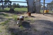 Banksia Park Puppies Ravi Lance - 36 of 47