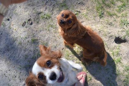 Banksia Park Puppies Ravi Lance - 7 of 47