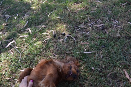 Banksia Park Puppies Rovi - 1