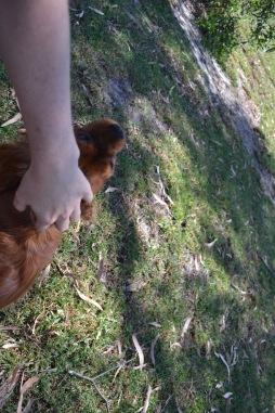 Banksia Park Puppies Rovi - 10 of 36