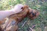 Banksia Park Puppies Rovi - 11
