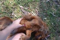 Banksia Park Puppies Rovi - 15 of 36