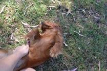 Banksia Park Puppies Rovi - 2