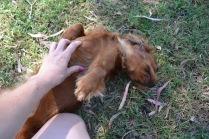 Banksia Park Puppies Rovi - 22 of 36