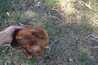 Banksia Park Puppies Rovi - 32 of 36