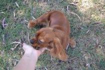 Banksia Park Puppies Rovi - 34 of 36