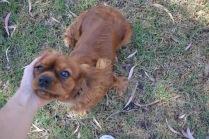 Banksia Park Puppies Rovi - 35 of 36