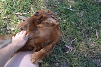 Banksia Park Puppies Rovi - 4