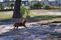 Banksia Park Puppies Rovi - 5 of 36
