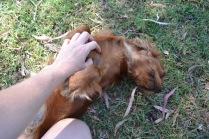 Banksia Park Puppies Rovi - 7
