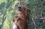 Banksia Park Puppies Rovi - 9