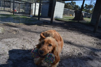 Banksia Park Puppies Saffi Ray - 31 of 44