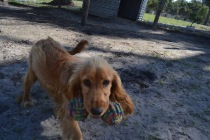 Banksia Park Puppies Saffi Ray - 33 of 44