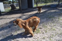 Banksia Park Puppies Saffi Ray - 37 of 44