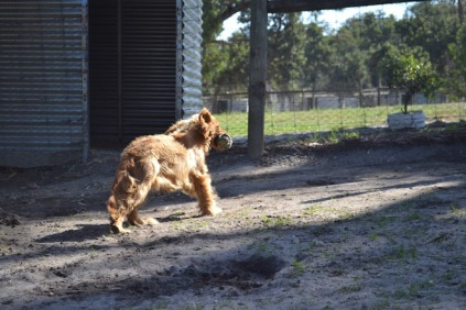 Banksia Park Puppies Saffi Ray - 44 of 44