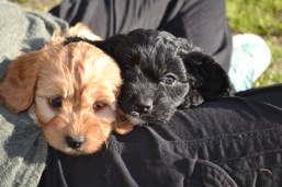 Banksia Park Puppies June Cavoodles