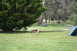 banksia-park-puppies-chacha-1-of-36