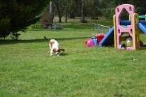 banksia-park-puppies-chacha-12-of-36