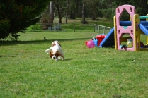 banksia-park-puppies-chacha-13-of-36