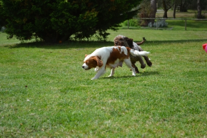 banksia-park-puppies-chacha-14-of-36