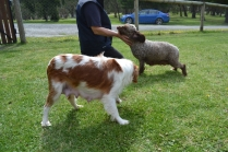 banksia-park-puppies-chacha-22-of-36