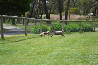 banksia-park-puppies-chacha-7-of-36