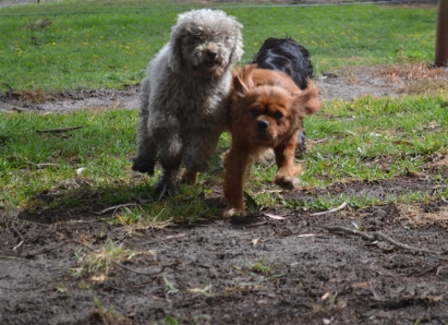 banksia-park-puppies-honey-1-of-33