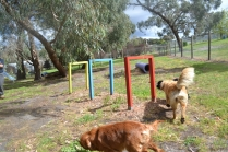banksia-park-puppies-honey-10-of-33