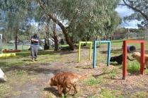 banksia-park-puppies-honey-11-of-33
