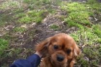 banksia-park-puppies-honey-14-of-33